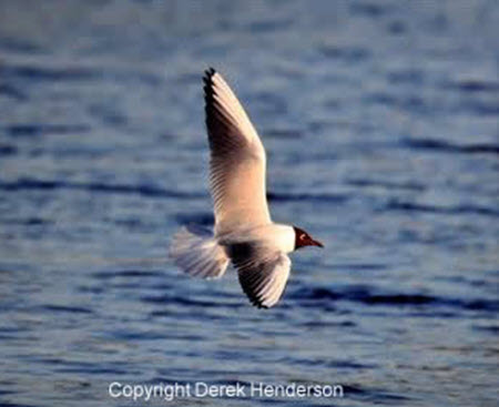 Black-headed_Gull_fp